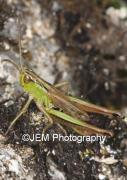 00036 Common Green Grasshopper
