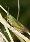 00080 Common Green Grasshopper